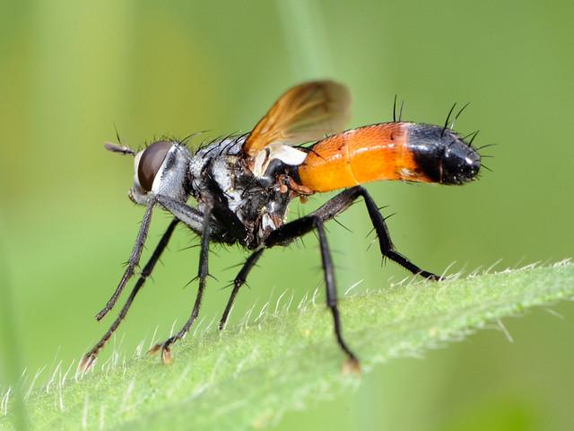 Cylindromyia sp.