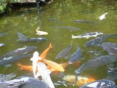 carp, fish, fish pond, koi, pond,