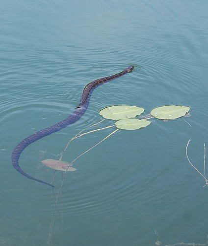 Water Snake Swimming