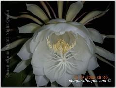 moonlight cactus(0.0), plant(0.0), epiphyllum anguliger(0.0), cactus family(0.0), caryophyllales(0.0), flower(1.0), epiphyllum oxypetalum(1.0), epiphyllum crenatum(1.0), petal(1.0),