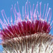 Burdock ... comes into Blossom - Bavaria Germany
