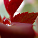 Water Drop on a Rose by jefg99