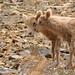 Baby Sheep on Rock