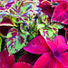 Small photo of Coleus