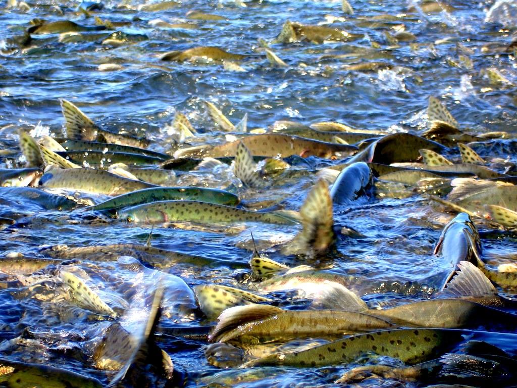 Valdez Alaska Map Valdez Alaska Fishing Pink