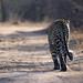 leopard by sausyn