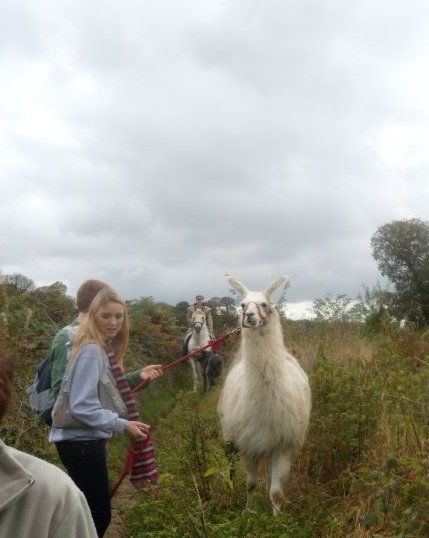 Llama followed by a horse All we need now is a yak. Milford to Godalming