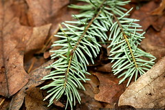 pine needles and fallen leaves    MG 0208