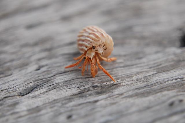 hermit crab2