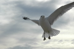 Sea Gull 022