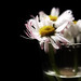 December Daisies by Tanjica Perovic Photography