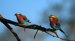 Lilac Breasted Rollers, South Luangwa National Park, Zambia