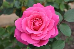 rosa gallica(0.0), annual plant(1.0), garden roses(1.0), rosa 㗠centifolia(1.0), floribunda(1.0), flower(1.0), plant(1.0), rosa chinensis(1.0), pink(1.0), petal(1.0),
