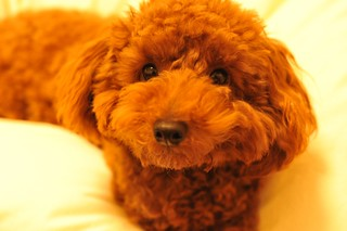 Toy poodle ?????? ????