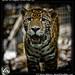 Junior the Jaguar, Belize Zoo (5)