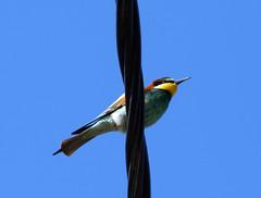 guépier d'Europe (Merops apiaster)