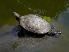 box turtle(0.0), loggerhead(0.0), common snapping turtle(0.0), sea turtle(0.0), animal(1.0), turtle(1.0), reptile(1.0), marine biology(1.0), fauna(1.0), emydidae(1.0), wildlife(1.0),