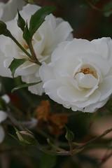 garden roses, camellia sasanqua, floribunda, flower, plant, macro photography, flora, gardenia, close-up, petal,