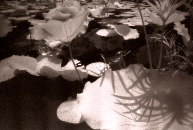 2008-08-10-02-13x.jpg Lotus Pond