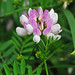 Purple Crown-vetch - Photo (c) Jerry Oldenettel, some rights reserved (CC BY-NC-SA)