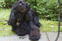 dog breed, animal, dog, boykin spaniel, pet, field spaniel, russian spaniel, english cocker spaniel, spaniel, german spaniel, american water spaniel, american cocker spaniel, carnivoran,