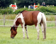 equestrianism(0.0), english riding(0.0), eventing(0.0), colt(0.0), rein(0.0), trail riding(0.0), endurance riding(0.0), mustang horse(0.0), animal(1.0), mane(1.0), mare(1.0), stallion(1.0), grass(1.0), mammal(1.0), foal(1.0), horse(1.0), grazing(1.0), meadow(1.0), pasture(1.0), grassland(1.0),