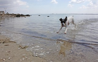 Playa de la Cortadura の画像. ocean sea dog beach water animal bay sand terrier cadiz ratterrier andaluz ratonero bodequero