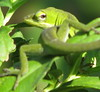 "<a href=""http://www.flickr.com/photos/vickisnature/2873207699/"">Photo of Anolis carolinensis by Vicki DeLoach</a>"