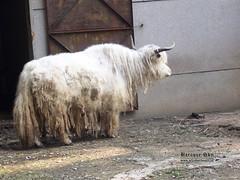 sheeps(0.0), sheep(0.0), domestic goat(0.0), mountain goat(0.0), cattle-like mammal(1.0), animal(1.0), mammal(1.0), horn(1.0), goats(1.0), fauna(1.0), yak(1.0),