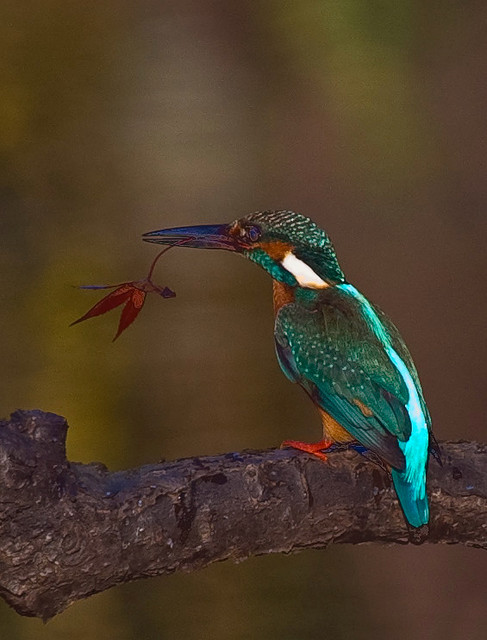 Kingfisher Enjoys an Autumn Leaf