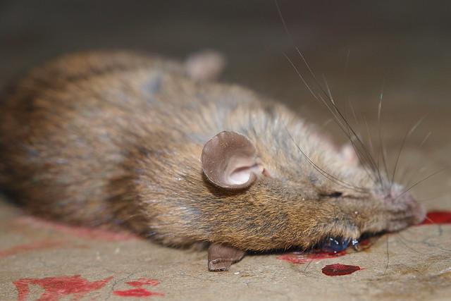 dead rat in the garage explore taekwonweirdo 39 s photos on