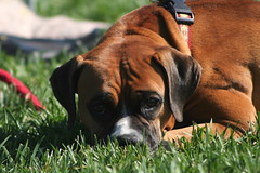 puppy(0.0), dog breed(1.0), animal(1.0), dog(1.0), puggle(1.0), pet(1.0), mammal(1.0), boxer(1.0),