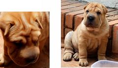 dog breed, nose, animal, dog, pet, mammal, shar pei,