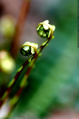 fern fiddleheads    MG 1275