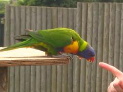 animal, lovebird, macaw, parrot, wing, pet, fauna, parakeet, lorikeet, common pet parakeet, beak, bird,