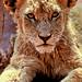 """196\365  baby LION in SUN CITY by """"Anwaar"""