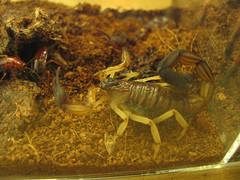 animal, scorpion, invertebrate, fauna,