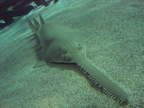 Green Sawfish