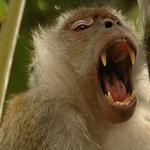 Yawning Monkey - Penang, Malaysia