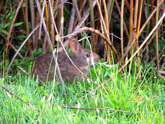 marsh rabbit eating