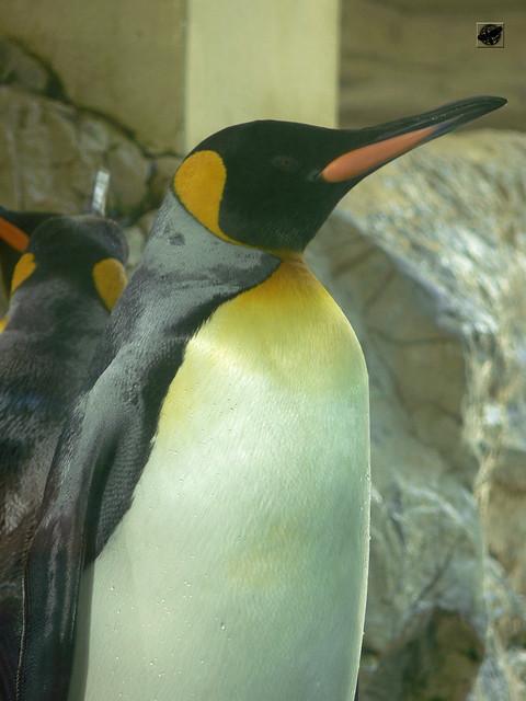 Királypingvin - King penguin