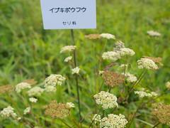 flower, plant, subshrub, herb, anthriscus, wildflower, flora,