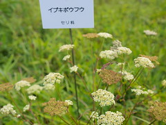 yarrow(0.0), shrub(0.0), cow parsley(0.0), produce(0.0), food(0.0), crop(0.0), flower(1.0), plant(1.0), subshrub(1.0), herb(1.0), anthriscus(1.0), wildflower(1.0), flora(1.0),