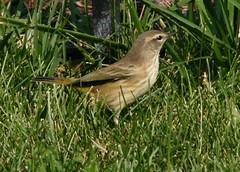 Batavia Yard Birds