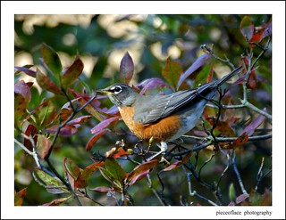 American Red-breasted Robin...