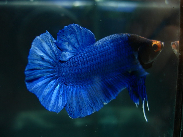 Betta splendens (plakat simetric Hm ) Explore Luiz Costai ...