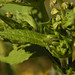 Small photo of Ambrosia trifida GIANT RAGWEED