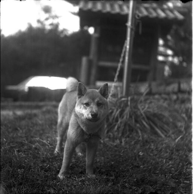 小柴犬-塔塔加小隊