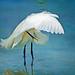 snowy egret by jandinflorida