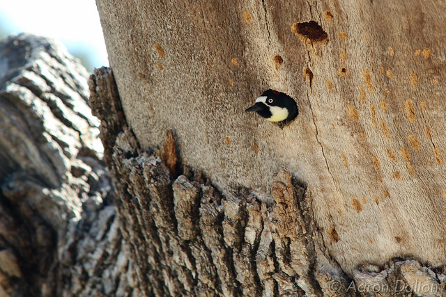 Woodpecker Poking Out of His Nest